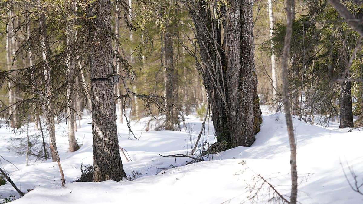 Vanha kuusi sai riistakameran kaverikseen. Kiinnitin riistakamerat hihnoilla puihin, joten puut eivät vahingoitu kiinnityksestä.