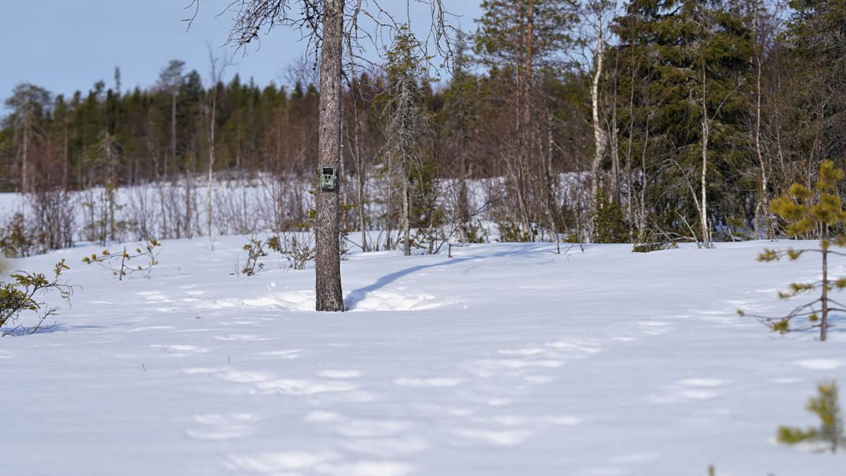 Tästä on karhu kävellyt molemmin puolin puuta ja edustalla on pieni aukea, joten mahdollisuudet karhuvideoihin ovat hyvät.