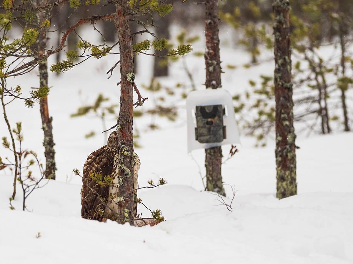 Omatekoinen riistakameran sääsuojaus. Kanahaukka koettaa piilotella puun takana.