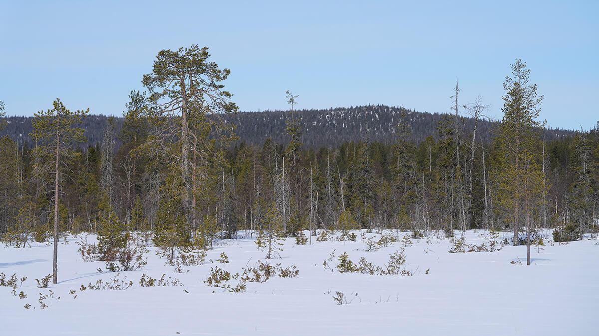 Maasto jossa liikun on pääosin kitukasvuista rämettä jota reunustaa ja puhkoo pääasiassa kuusi- ja mäntyvaltaiset metsät.