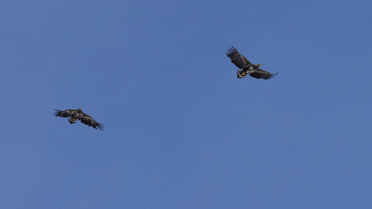 Merikotkapari lentää halki sinisen avaruuden.